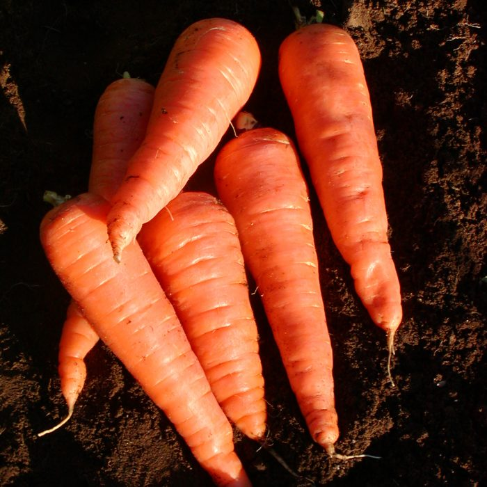 carotte red cored chantenay