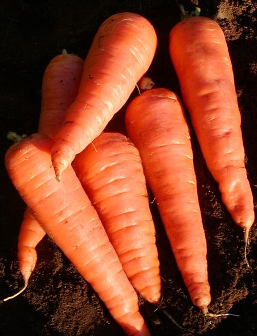carotte-red-cored-chantenay