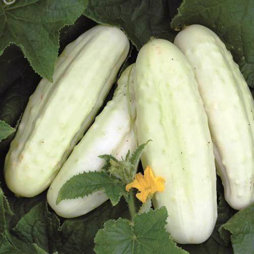 concombre-blanc-hollande